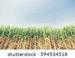 sugar cane with sky    retro... | Shutterstock . vector #594534518