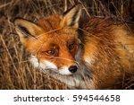 fox hiding in the grass | Shutterstock . vector #594544658