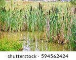 Bulrush  Or Cattail  Typha  On...