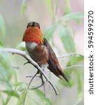 Small photo of Splendid male Allen's hummingbird.