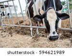 milking cows eating and grazing ... | Shutterstock . vector #594621989