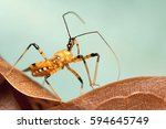 assassin bug | Shutterstock . vector #594645749