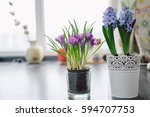 Beautiful Violet Crocuses And...