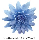 Blue Flower Chrysanthemum. ...