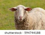 nice sheep grazing in the... | Shutterstock . vector #594744188