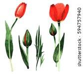 wildflower tulip flower in a... | Shutterstock . vector #594757940