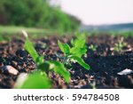 crops planted in rich soil get... | Shutterstock . vector #594784508
