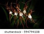 Wild Orchid Ada Keiliana ...