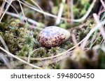 Small photo of Eggs of different species of birds. Guide. Cryptic painted (mottled) egg of European snipe (Gallinago gallinago)