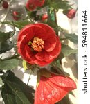 Small photo of Red abutilon flower