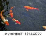 Fancy Carps Fish Or Koi Swim I...