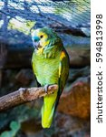Small photo of Blue-Fronted Amazon (Amazona aestiva xanthopteryx) in zoo