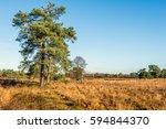 Scots Pine Tree In A Dutch...