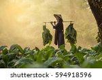 laos woman  tobacco growers | Shutterstock . vector #594918596