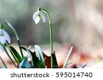 snowdrops | Shutterstock . vector #595014740