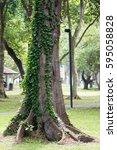 ivy over a trunk   Shutterstock . vector #595058828