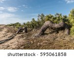 strange trees between dunes and ... | Shutterstock . vector #595061858