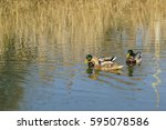 Two Drake And A Duck Males And...