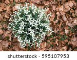 top view of snowdrop plants ... | Shutterstock . vector #595107953