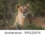 Beautiful Lioness At Sunset