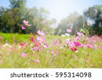 pink daisy flowers's farm with... | Shutterstock . vector #595314098