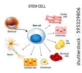 stem cells. these inner cell... | Shutterstock .eps vector #595329806