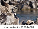 Canada Geese Taking To Flight...