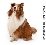 Stock photo tan and white shetland sheepdog isolated on white 59548966