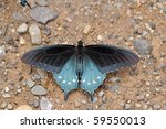 Pipevine Swallowtail Resting