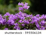 Bougainvillea Flowers Is A...