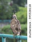 Crested Hawk Eagle  Spizaetus...