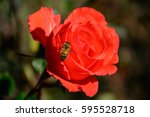 Macro Photo For Bee On A Red...