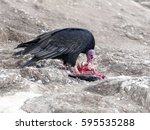 Turkey Vulture  Cathartes Aura...