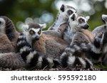ring tailed lemur  lemur catta .... | Shutterstock . vector #595592180