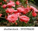 Pink Rose In Garden  Chiangmai...