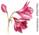 Hippeastrum Flower Watercolor...