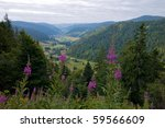 Fireweed, Black Forest, Germany - stock photo