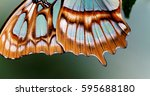 Red Lacewing Butterfly  Lat....