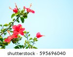 Chinese Rose Tree And Flower...