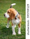 portrait of a beagle dog on... | Shutterstock . vector #595709129
