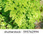 Small photo of Close up of adiantum philippense or maidenhair fern growing in flower garden