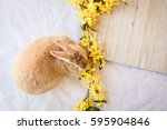 Stock photo easter bunny rabbit with yellow spring forsythia flowers on white textured floor and angled wooden 595904846