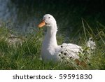 White Duck In Its Natural...