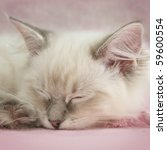Stock photo ragdoll kitten 59600554