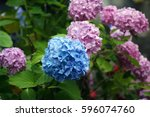 Blue Flowers Hydrangeas Agains...