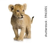 Stock photo lion cub months in front of a white background 5961001