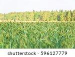 green unripe rye  secale... | Shutterstock . vector #596127779