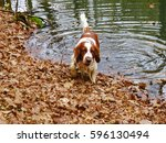 Welsh Springer Spaniel Goes Ou...
