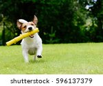 Stock photo dog running on summer lawn fetching toy 596137379