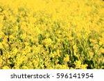 rape flower field of riverbed ... | Shutterstock . vector #596141954
